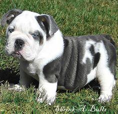 Blue English bulldog.