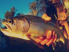 trout fli fish, trout fish, fish group, fish cloth