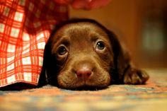 chocolate lab, want!