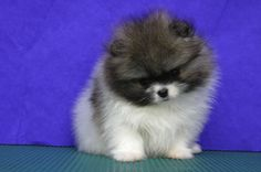 Pomsky Puppy.. We have to have one!!!!