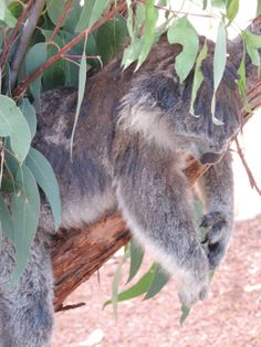 Koalas relaxing in the heat at Healesville Sanctuary!