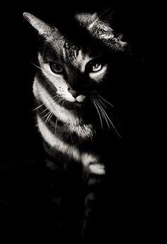 ninja cat, Kitty, stribed, shadow, light, cute, nuttet, adorable, precious, sweet, photo b/w