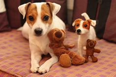 Dog and matching toy. Awwweeee #JRT
