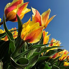 Tulips by hetty mellink on 500px
