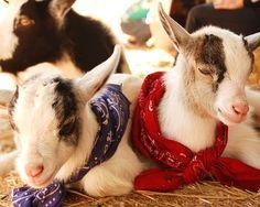 Pygmy Goats On Pinterest Pygmy Goats Baby Pygmy Goats And Baby Goa