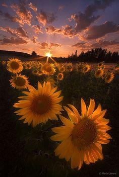 Sunset in sunflower field, Spain