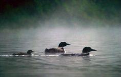Maine loon family