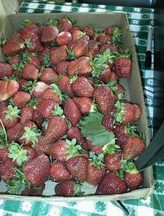 Flat River Nursery strawberries.  They have pick-your-own strawberries on the Piedmont Farm Tour!