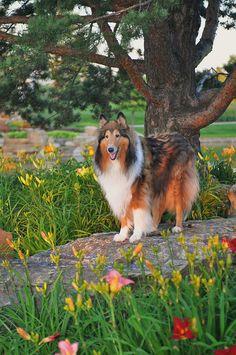 Spring Collie