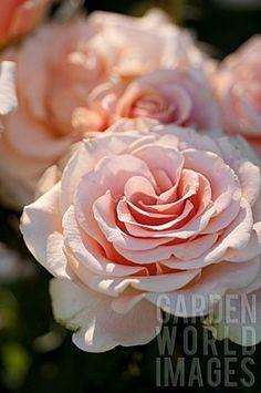 Rosa 'Marilyn Monroe' hybrid tea rose