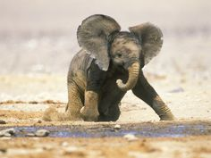 Pure beauty, african baby elephant