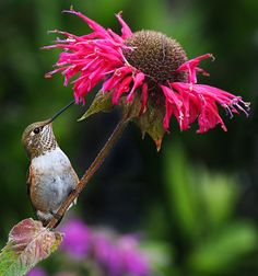 hummingbird on Monarda a plant that is a must have if you want hummers