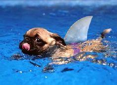 Shark Pug!:)
