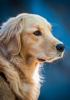 Golden Retriever. I love that blue for the background. Looks so good with the yellow lab. The furry paint strokes are wonderful. Looks so soft.