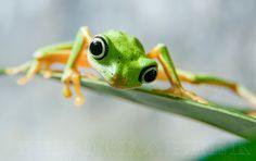 . anim, froggi, lemur frog, stones, reptil, frogs, sun, eyes, nikograph jon