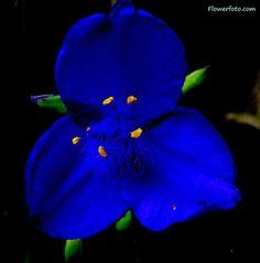 Blue Gladiolus Flower - August flower