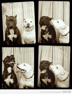 dogs ijabek pitt bull, anim, dog photos, vintage photos, kissing booth, pit bulls, photo booths, puppi, friend