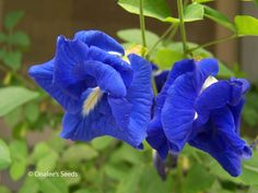 cum balconi, garden plant, imag result, bunga telang, googl imag
