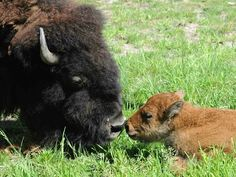 Bison Baby Born at Brookfield Zoo!