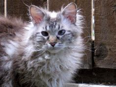 """April C's says her about cat Isis """"her eyes are even blue like Anderson's!"""""""