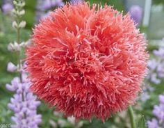 Poppy Double Venus Papaver seeds