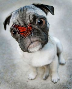 funny animals, funny dogs, butterflies, funny animal pics, pug life