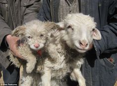 Puppy born in China that looks a lot like a sheep! Google Image Result for http://2.bp.blogspot.com/-3AXspkZBU8Q/TY0p3RLdD1I/AAAAAAAAl1I/m5R9EJXN3oU/s1600/Sheep%252BDog.jpg