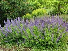 Blue wild indigo, Baptisia australis. Native perennial. 2 to 5 feet tall. Blooms late spring. Low-maintenance. Zones 3-9. Sun to part sun. Dry to moist soil. Dwarf variety also available---max. 3 feet tall. (Sunlight Gardens)