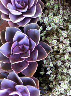 Purple Echeveria.