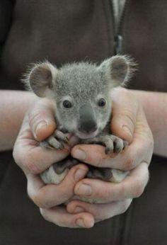 Baby Koala♥
