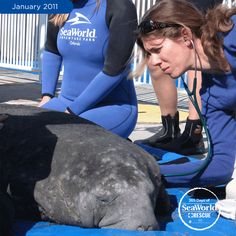 Here, a SeaWorld veterinarian is listening to this young manatee's breathing after she was brought in for signs of cold stress. #365DaysOfRescue