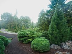 Dwarf conifers and a Japanese umbrella pine, at the New York Botanical Garden