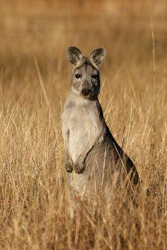 kanguruh, Australian Outback