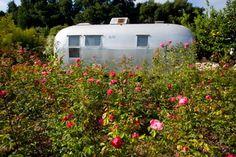 Sleeping among the roses - Rose Story Farm