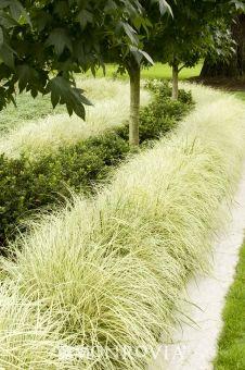 ~Variegated Japanese Sedge {Carex morrowii 'Aurea-variegata'}