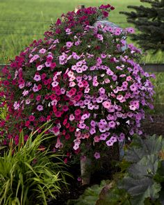 pretti petunia, landscap, flowers in washing machine, kickin plant, flower color