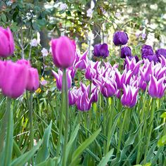 Purple Passion Selection (Tulip)