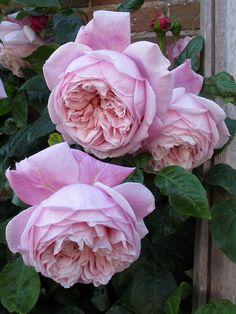 climb rose, freedom rose, 2005, garden beauti, roses, rose spirit, english rose, david austin rose, flower