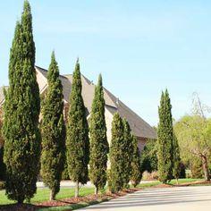 Italian Cypress - Cupressus sempervirens