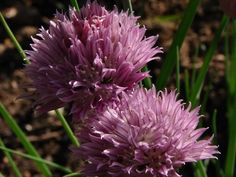 You can eat chive flowers! Chive flower omelet, Chive blossom butter...Photo Sharing and Video Hosting at Photobucket