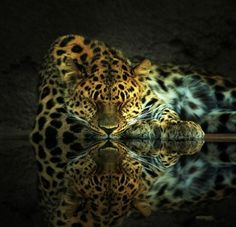 Leopard sleeping
