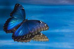 Blue Morpho, Morpho peleides in reflection