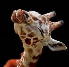 Giraffe kissies