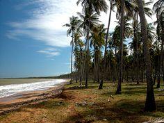 Plantas de Venezuela: Cocotero  (Cocos nucifera) by Jose Jaime Araujo, via Flickr.