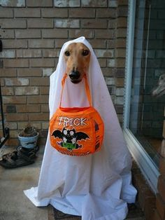 Trick or Treat! Greyhound Ghost,,,now i would have some greenies on hand for a trick or treater this cute!