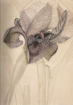 [][][] Georg Dionysius Ehret, Iris susiana L (ridaceae) c.1750s