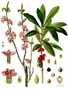 Historical botanical illustration of the day: Daphne mezereum