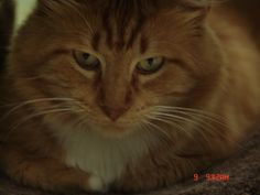 AUGUST is an adoptable Domestic Long Hair Cat in Lake Charles, LA. 4 YR OLD...