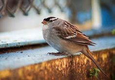 White Crowned Sparrow - bird photography by Bill Pevlor of PopsDigital.com.  #bird #birds #sparrow