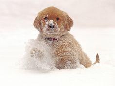 Golden Retriever Pup in Snow